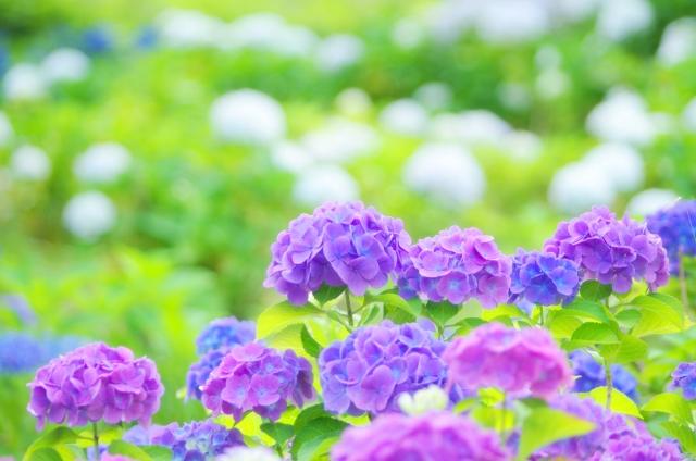 もうすぐ夏至。紫陽花の季節ですね。