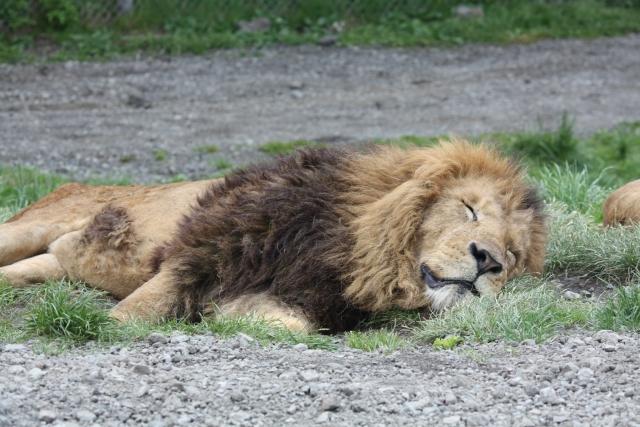 暑さのあまり眠ってしまうライオン。百獣の王ライオンも暑さには敵わない。