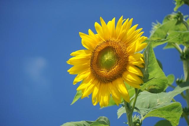 夏が始まるひまわりの画像。夏休み最高ですな!まじで!